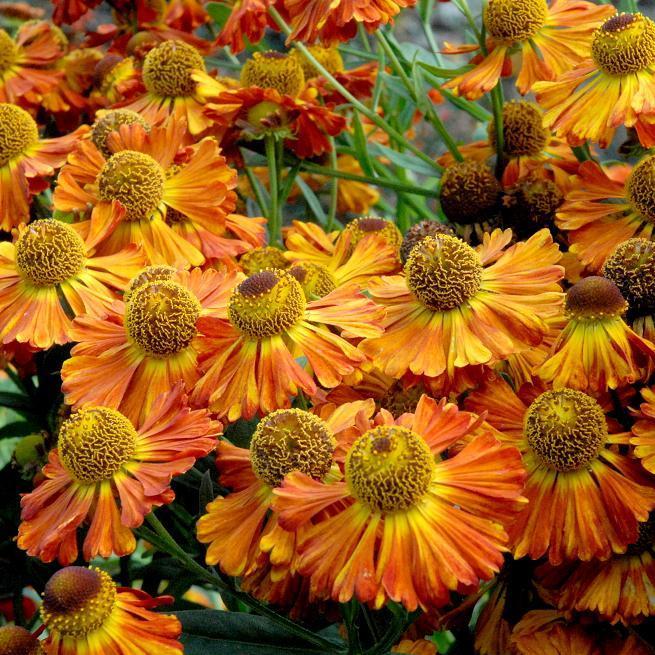Helenium à floraison précoce 'Mardi Gras'