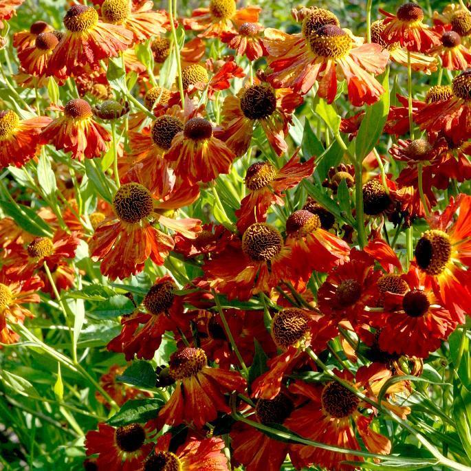 Helenium à floraison plus tardive 'Waldtraut'