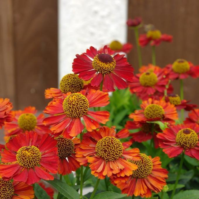 Helenium à floraison plus tardive 'Ruby Thuesday'