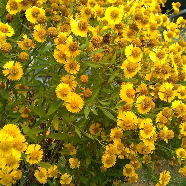 Helenium à floraison plus tardive Hélénie d'automne (Helenium autumnale)
