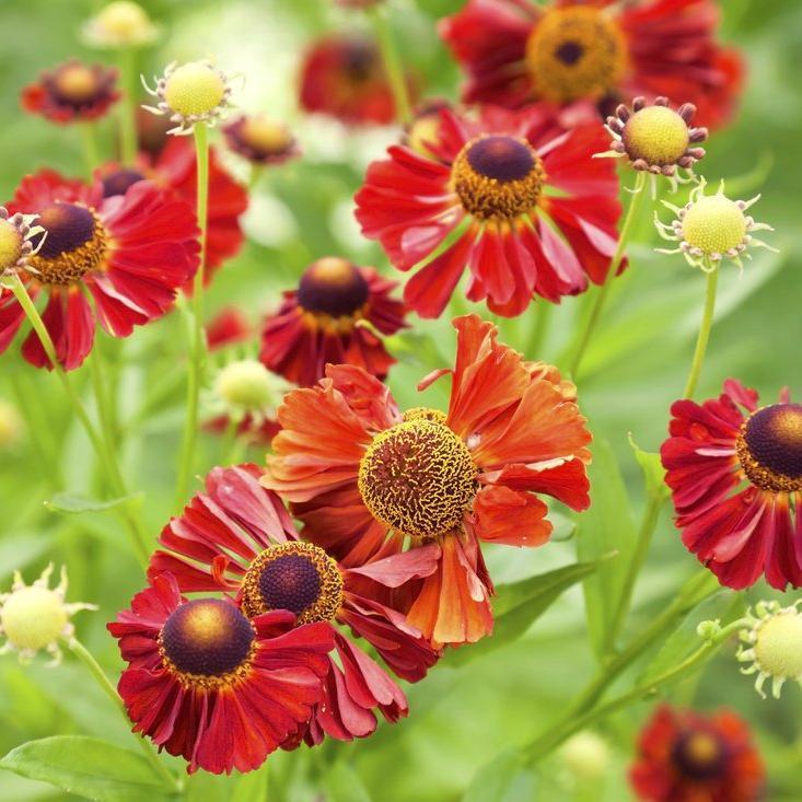 Helenium à floraison précoce 'Rubinzwerg'