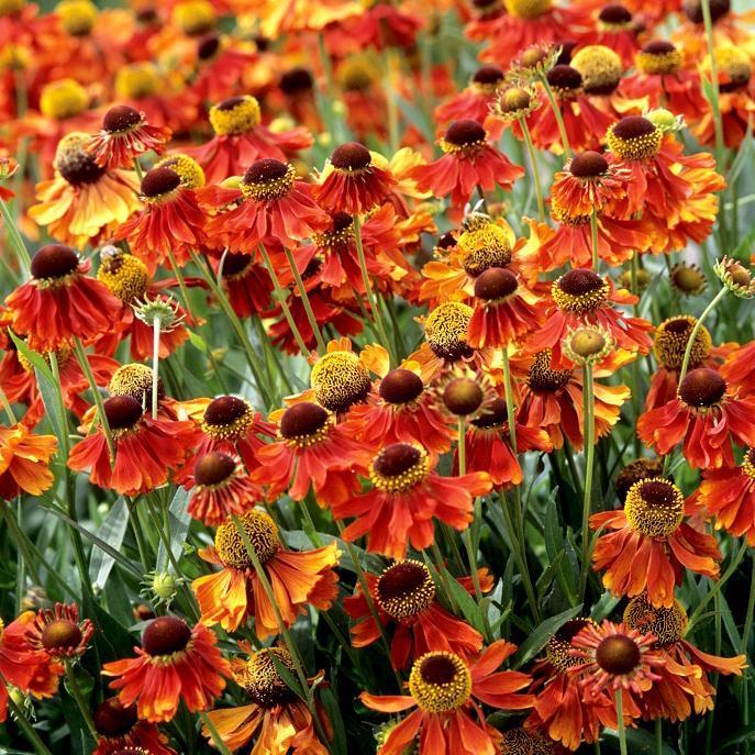 Helenium à floraison précoce 'Moerheim Beauty'
