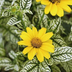 Héliopsis fausse hélianthe (Heliopsis helianthoides) 'Loraine Sunshine'®