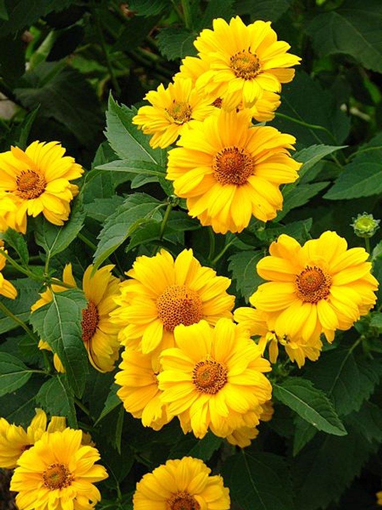 Heliopsis planter et cultiver ooreka for Vivace floraison hivernale