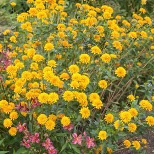 Héliopsis rugueux (Heliopsis helianthoides var. scabra) 'Asahi'