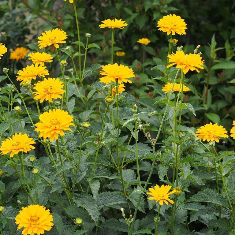 Héliopsis rugueux (Heliopsis helianthoides var. scabra) 'Sommersonne'