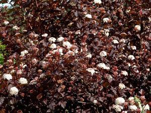 Culture et entretien du physocarpus