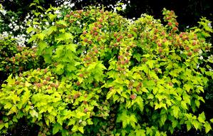Plantation du physocarpus