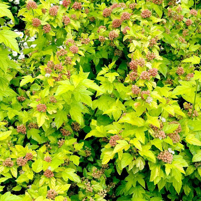 Physocarpe (Physocarpus opulifolius) 'Dart's Gold'