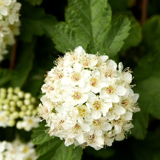 Physocarpe de l'amour (Physocarpus amurensis) --