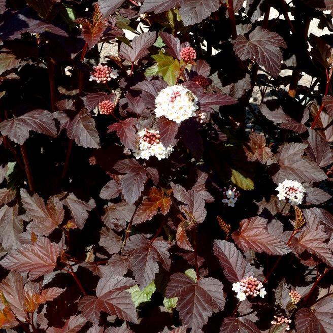 Physocarpe (Physocarpus opulifolius) 'Diabolo'