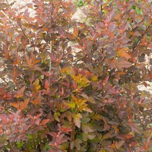 Physocarpe (Physocarpus opulifolius) 'Diable d'or'