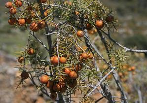 Semis et plantation du cade