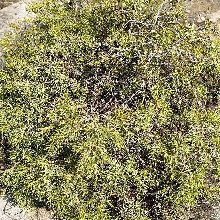 Juniperus oxycedrus subsp 'Macrocarpa'