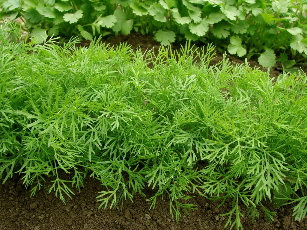 Dill Planting Growing and Harvesting Dill Weed  The