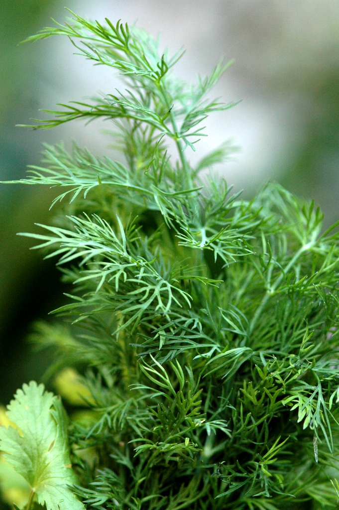 Aneth : semer et planter - Ooreka
