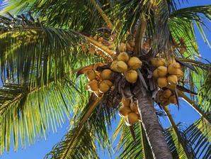 Plantation du cocotier