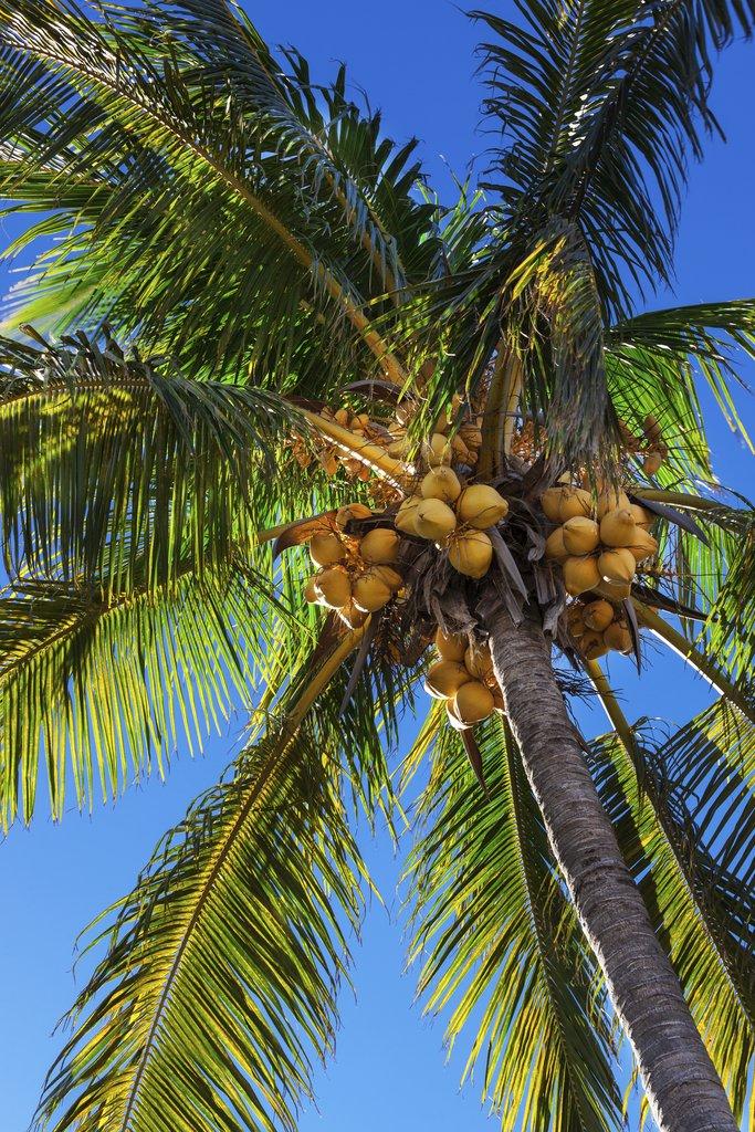 Cocotier planter et cultiver ooreka - Palmier noix de coco ...