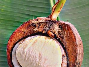 Multiplication du cocotier