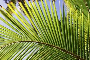 Culture et entretien du cocotier