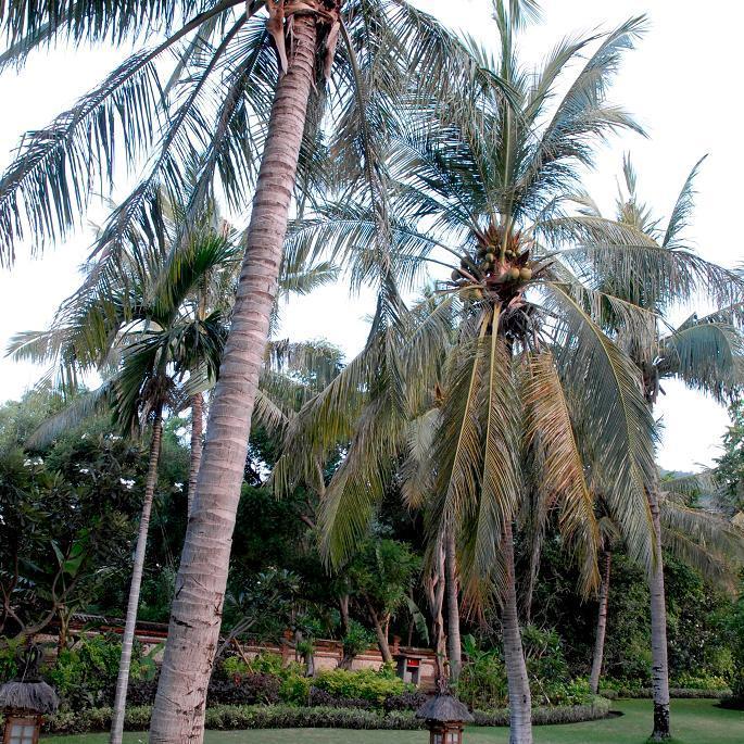 Palmier cocotier (Cocos nucifera) Espèce type
