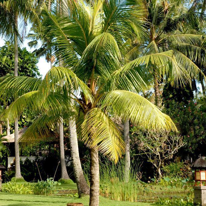 Palmier cocotier (Cocos nucifera) 'Nino'