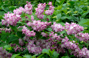 Multiplication du deutzia