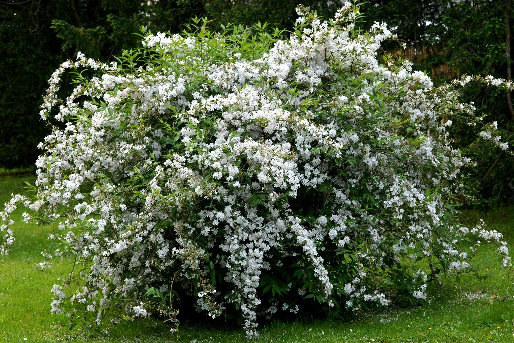 Deutzia planter et tailler ooreka - Taille des lauriers fleurs ...