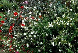 Multiplication du gaura
