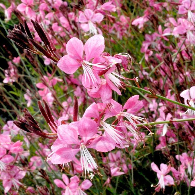 Gaura planter et tailler ooreka - Planter hortensia plein soleil ...