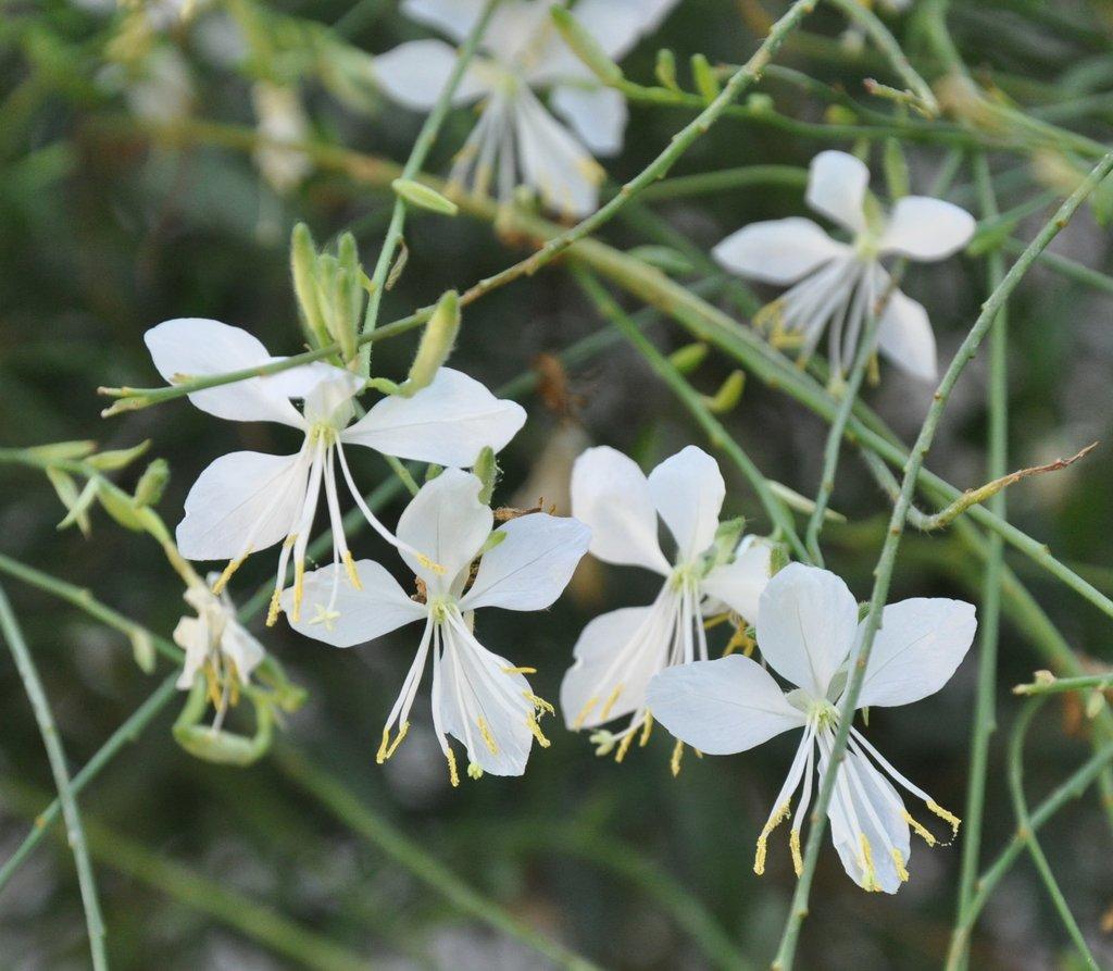 Gaura planter et tailler ooreka for Plants de fleurs vivaces