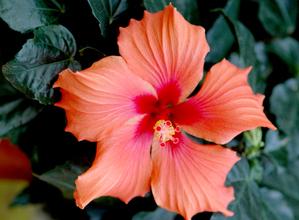 Culture et entretien des hibiscus