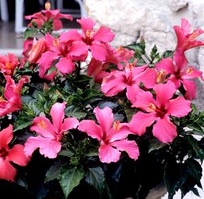 Plantation des hibiscus
