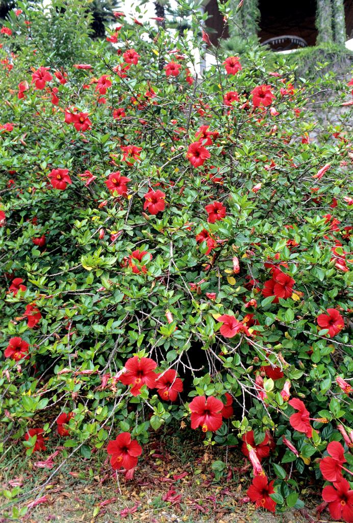Hibiscus : planter et tailler – Ooreka