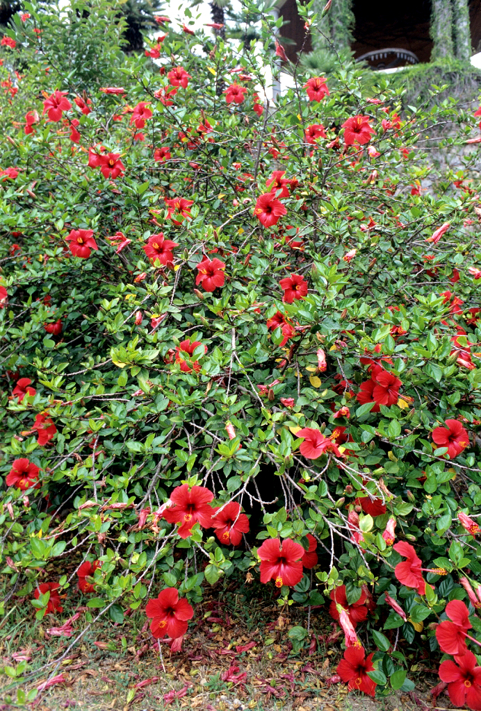 Hibiscus planter et tailler ooreka for Hibiscus entretien exterieur
