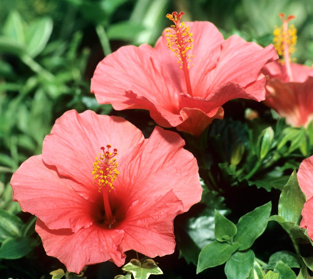 planter un hibiscus exterieur 28 images hibiscus. Black Bedroom Furniture Sets. Home Design Ideas