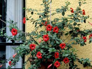 Multiplication des hibiscus