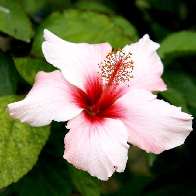 Arbuste Rose de Chine (Hibiscus rosa-sinensis)
