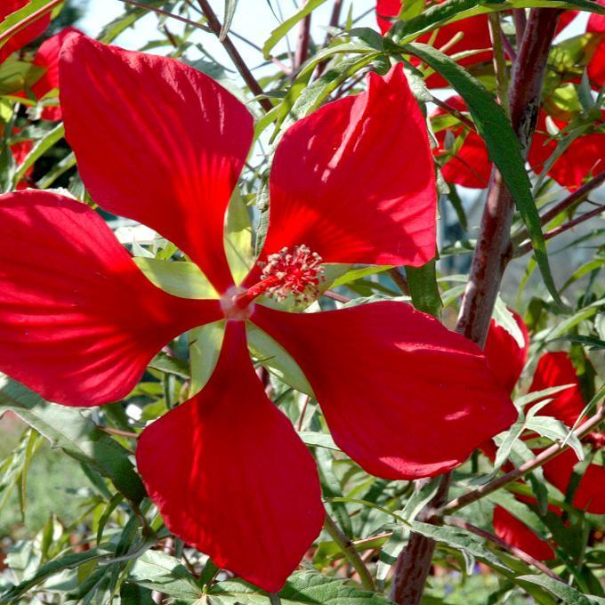 Vivaces Hibiscus coccineus