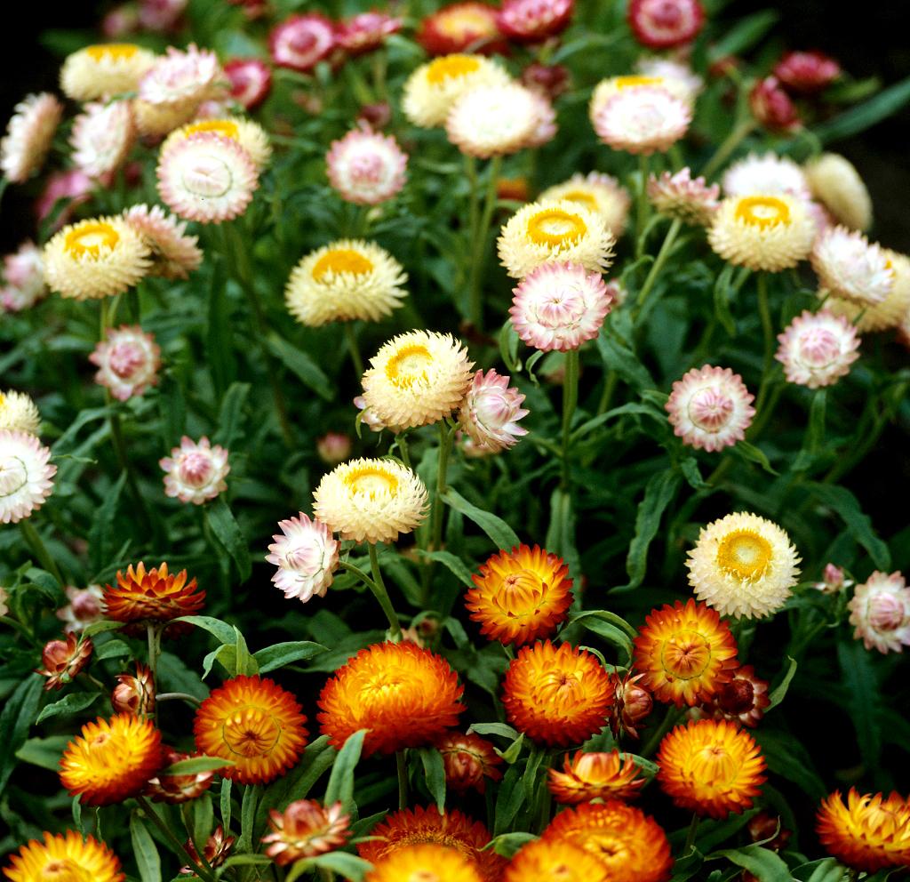 les immortelles plantes