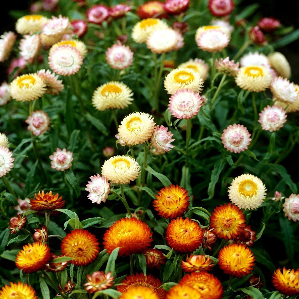 Immortelle à bractées (Xerochrysum bracteatum, Helichrysum bracteatum) 'Géante Chico'