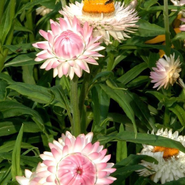 Immortelle à bractées (Xerochrysum bracteatum, Helichrysum bracteatum) 'New Rose'