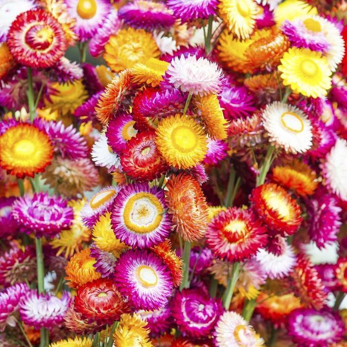 Immortelle à bractées (Xerochrysum bracteatum, Helichrysum bracteatum) Variétés à fleurs doubles en mélange, du type 'Mix' ou 'Attraction Mix'