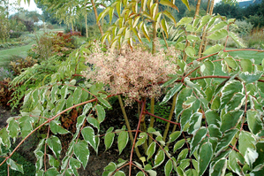 Plantation de l'aralia