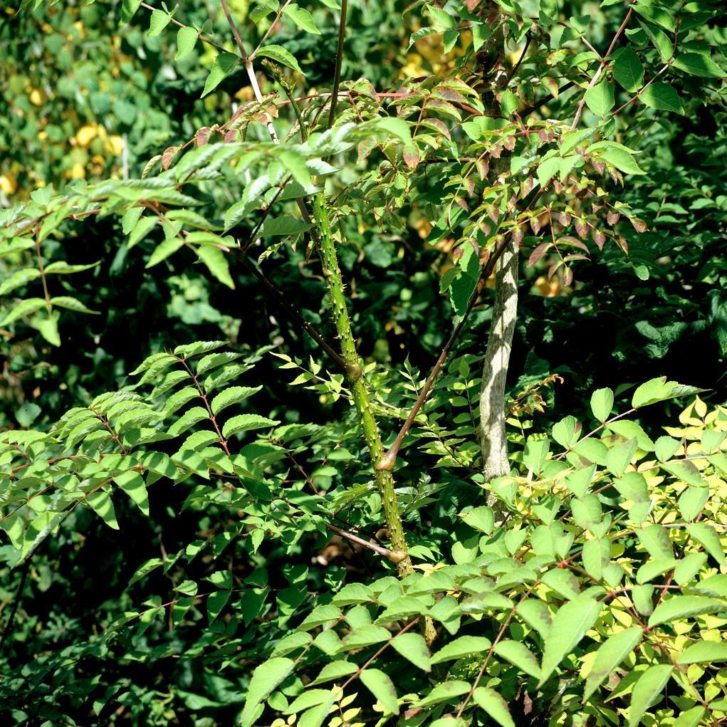 Angélique épineuse (Aralia spinosa)