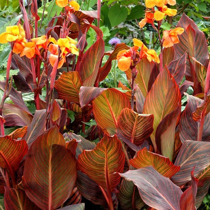 Cannas hybrides 'Tropicanna', ou 'Durban', ou 'Phasion'