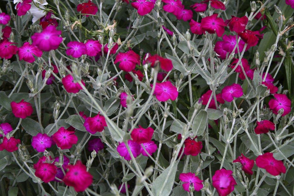 Coquelourde planter et cultiver ooreka for Petite plante exterieur