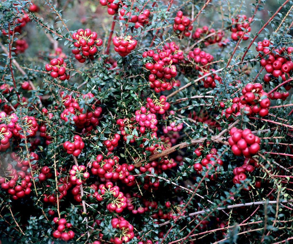Gaulth rie planter et cultiver ooreka for Couvrir les plantes en hiver