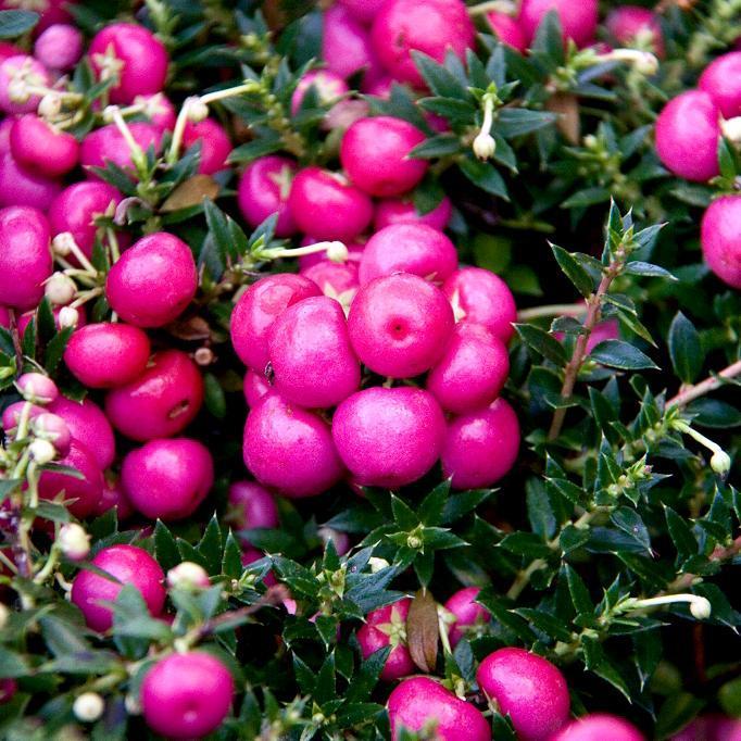 Gaultheria mucronata 'Mulberry Wine'