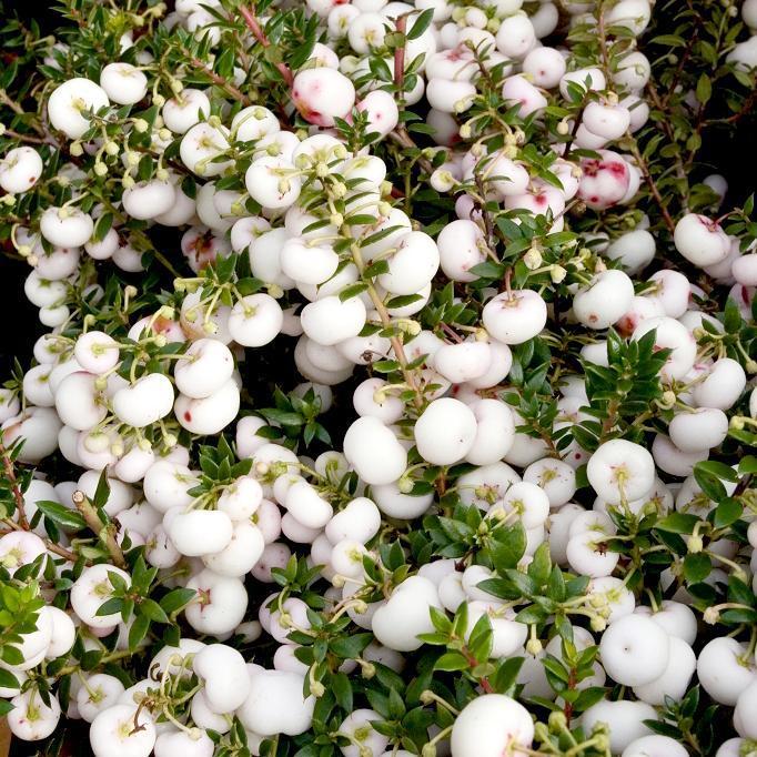 Gaultheria mucronata 'Winter Time'
